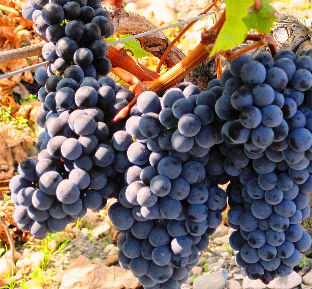 An bun pentru producția de vin şi struguri. Vinul ar putea fi mai scump în magazine